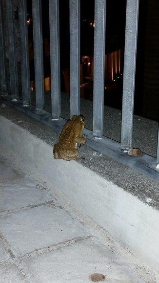 animal frog - Copy